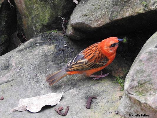 Foudi rouge (Beauval)