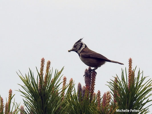 Mésange huppée   (parc naturel de la Ria Formosa Portugal)