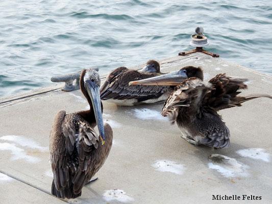 Pélicans bruns  (marina Del Rey)