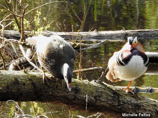 couple de canards mandarins (parc de la Poudrerie Sevran)
