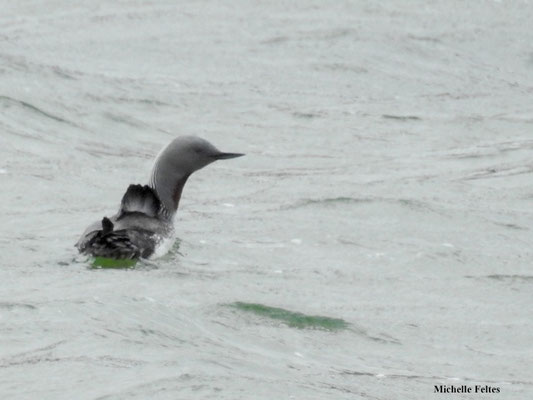 Plongeon catmarin (Islande)