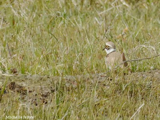 Petit gravelot (réserve naturelle de la Baie de Somme)