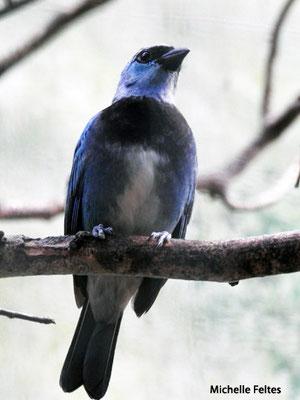 Calliste masqué, vit en Bolivie, Brésil, Colombie, Equateur, Guyana, Pérou, Venezuela (Beauval)