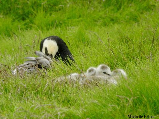 Bernache nonnette (réserve naturelle d'Ösland Islande)