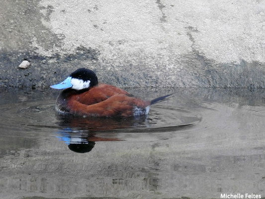 Erismature rousse mâle  (Biotropica Val de Reuil)