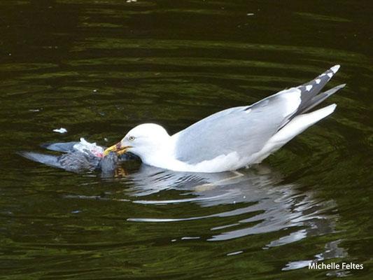 Goéland argenté dévorant un oiseau (Saint-Pétersbourg)