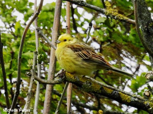 Bruant jaune (les Ardennes)