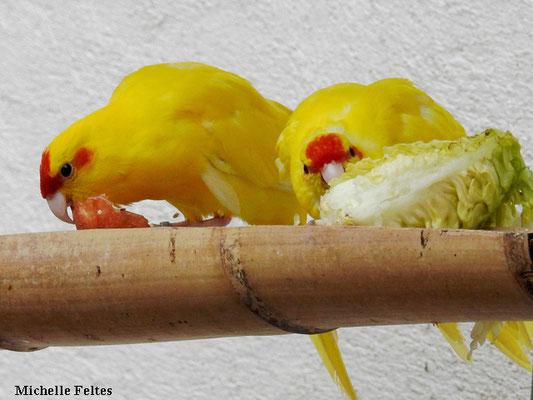 Perruches Karakiri à front rouge (Sorède)