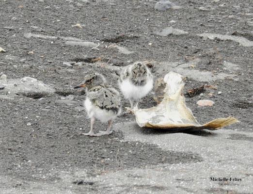Poussins huitrier pie (Borganes Islande)