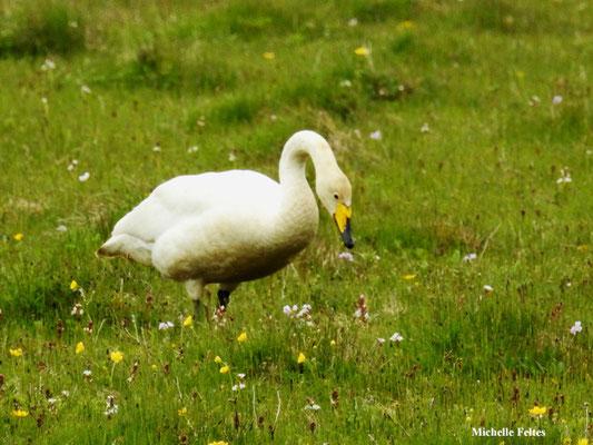 Cygne chanteur (lac Myvatn Islande)