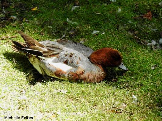 canard siffleur (Beauval)
