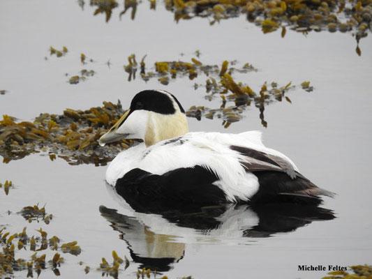 Eider à duvet mâle (réserne naturelle d'Ösland Islande)
