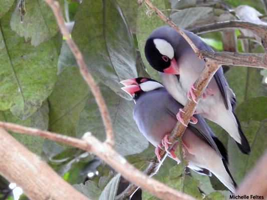 Paddas de Java , origine Indonésie, îles Philippines (Beauval)