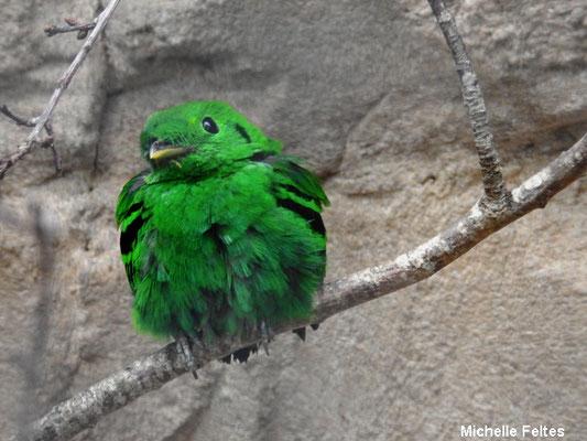 Eurylaine vert (Beauval)
