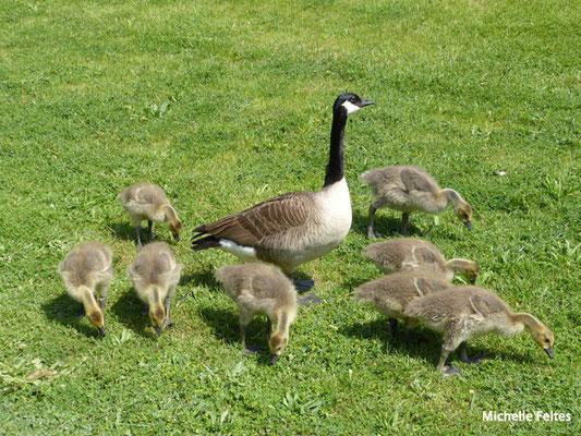 Bernache et ses petits