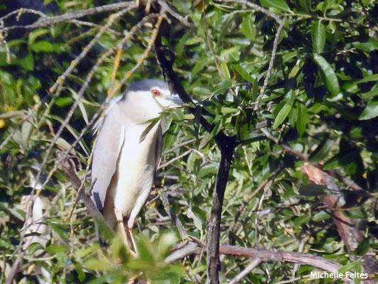 Bihoreau gris  (parc naturel de Donana Andalousie)