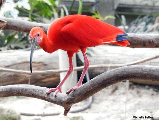 Ibis rouge (Biotropica Val de Reuil)