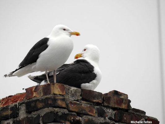 Goélands marins (Cap Nord Norvège)