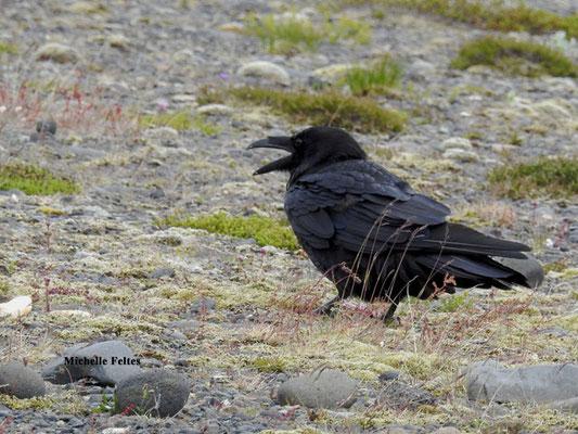 Grand corbeau (parc national du Vatnajökull Islande)