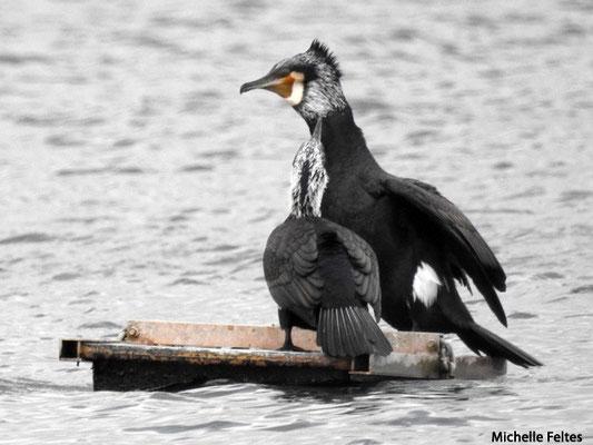 Grand Cormoran en plumage nuptial (Vaires sur marne base de loisirs)