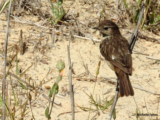 Tarier pâtre femelle  (parc naturel de Donana Andalousie)