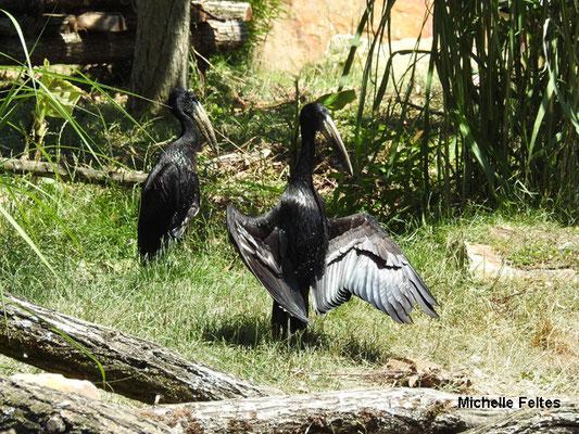 Bec-ouvert africain ou cigogne à bec-ouvert (Beauval)