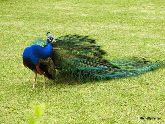 Paon bleu mâle (jardins de l'Alcazar à Séville)