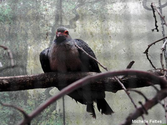 Carpophage d'Albertis ou pigeon des montagnes (Beauval)