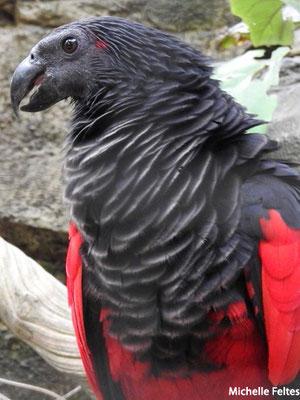 Perroquet de Pesquet (Beauval)
