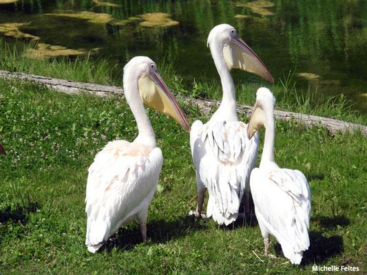 Pélicans blancs (Beauval)
