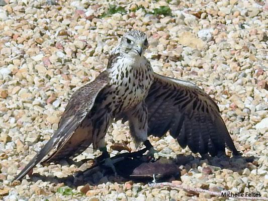 Faucon lanier (Beauval)