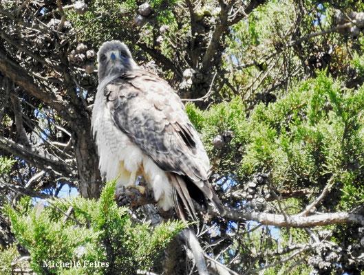 Faucon pélerin (parc Alamo San Francisco)