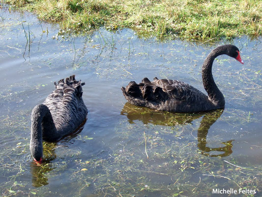 Cygnes noirs (Fort Mahon)