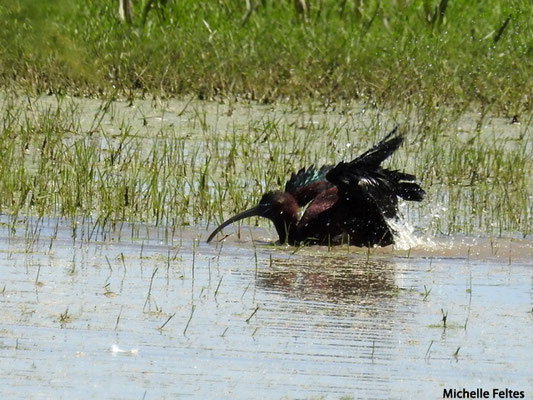 Ibis falcinelle  (parc naturel de Donana Andalousie)