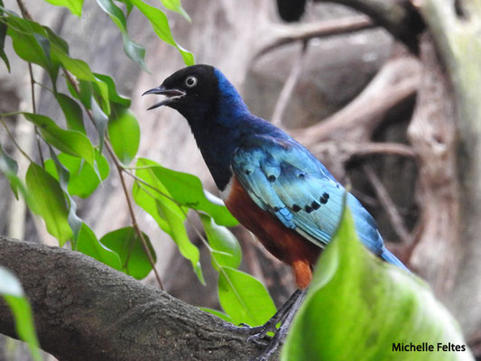 Choucador superbe originaire dl'Afrique de l'Est (Beauval)