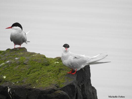 Sternes arctiques (réserve naturelle d'Ösland Islande)