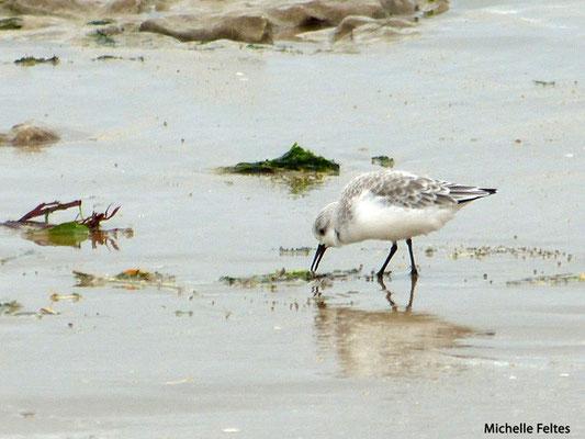 Bécasseau sanderling (baie d'Aiguillon)