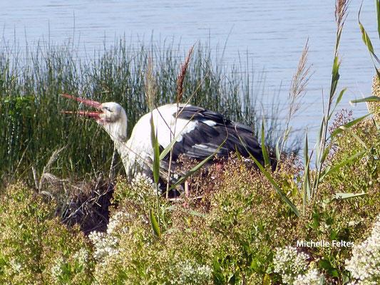 Cigogne blanche (Arcachon)