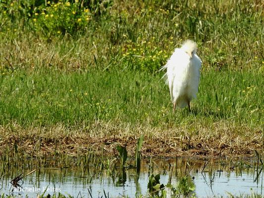Héron garde-boeufs (parc de la Prade à Saint Cyprien)