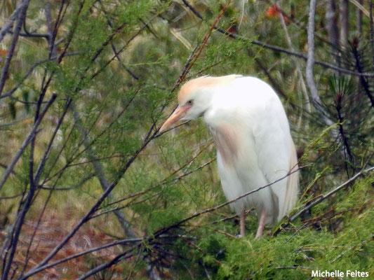 Héron gardeboeufs    (parc naturel de la Ria Formosa Portugal)
