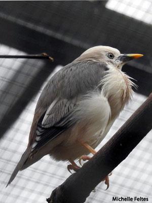 Etourneau à tête grise, sud de l'Asie (Beauval)