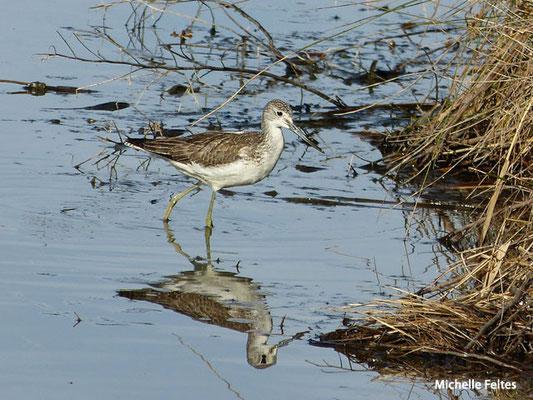 Chevalier sylvain (parc ornithologique du Teich)