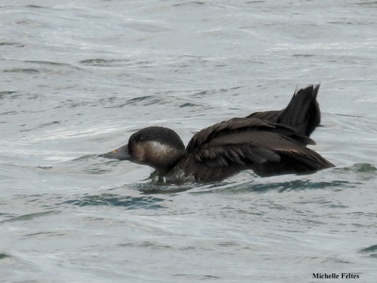 Macreuse noire (lac Myvatn Islande)