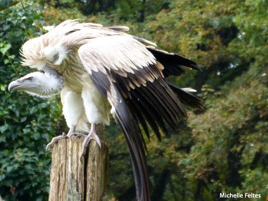 Griffon vulture (captif, Rambouillet parc animalier)