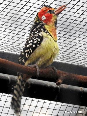 Barbican à tête rouge, Afrique (Beauval)
