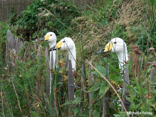 Cygnes chanteurs (Marquenterre)