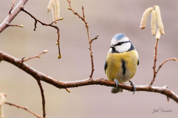 au jardin...mésange bleue (seine & marne)
