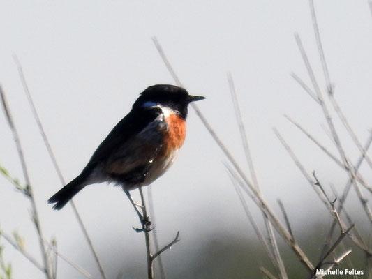 Tarier pâtre mâle  (parc naturel de Donana Andalousie)