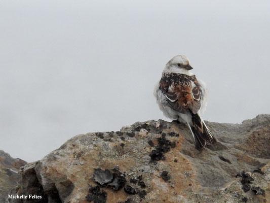 Bruant des neiges (Kalfshamarsvik Islande)
