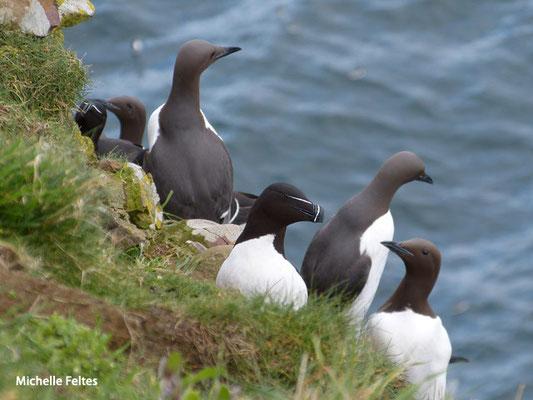 Guillemot de Troïl et Pingouin torda (Ecosse)